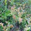 Maytenus procumbens new foliage