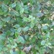Maytenus procumblens foliage