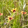 Monopsis scabra flower