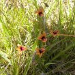 Monopsis scabra foliage