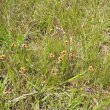 Monopsis scabra habitat