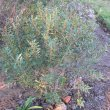 Morella quercifolia form