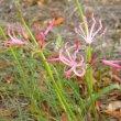 Nerina filifolia