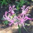 Nerina filifolia flower