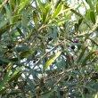Olea europaea subsp. Africana