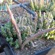 Orbea variegata seed pods