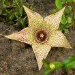 Orbea verrucosa flower