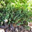 Orbea verrucosa plant