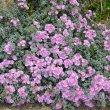 Oscularia deltoides flower