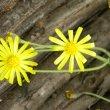 Othonna capensis flower