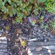Othonna capensis invasion