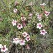 Pachypodium bispinosum flower mass
