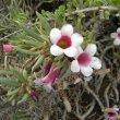 Pachypodium bispinosum flowers close