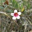 Pachypodium bispinosum foliage