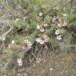 Pachypodium bispinosum form
