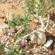 Pachypodium succulentum caudex