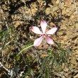 Pachypodium succulentum flower