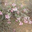 Pachypodium succulentum flowers