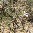 Pachypodium succulentum foliage