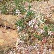 Pachypodium succulentum form