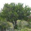 Pappea capensis form
