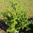 Pavonia praemorsa shrub