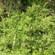 Pavonia praemorsa wild