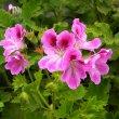 Pelargonium cucullatum flower