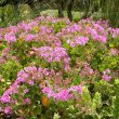 Pelargonium cucullatum subsp tabulare
