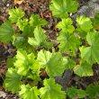 Pelargonium cucullatum young  foliage