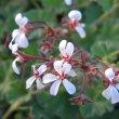 Pelargonium fragrans flowers