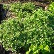 Pelargonium fragrans foliage