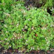 Pelargonium fragrans form