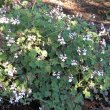 Pelargonium fragrans shade