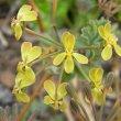 Pelargonium gibbosum flower