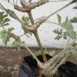 Pelargonium gibbosum stems