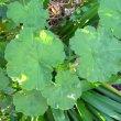Pelargonium inguinans leaf