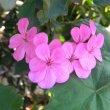 Pelargonium inquinans mauve pink