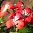 Pelargonium inquinans red wh
