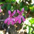 Pelargonium ionidiflorum flower