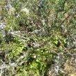 Pelargonium ionidiflorum habitat