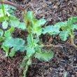Pelargonium ionidiflorum foliage