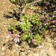 Pelargonium ionidiflorum soil