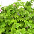 Pelargonium panduriforme foliage