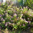 Pelargonium panduriforme hedge