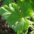 Pelargonium panduriforme leaf