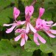 Pelargonium panduriforme pollen