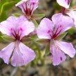 Pelargonium peltatum flower
