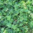 Pelargonium peltatum foliage