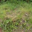 Pelargonium pulverulentum
